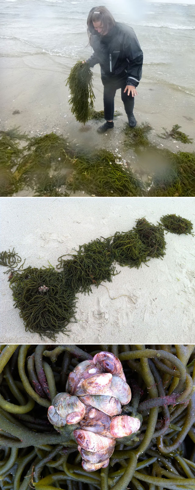 harvesting plant fiber seaweed invasive for hand papermaking